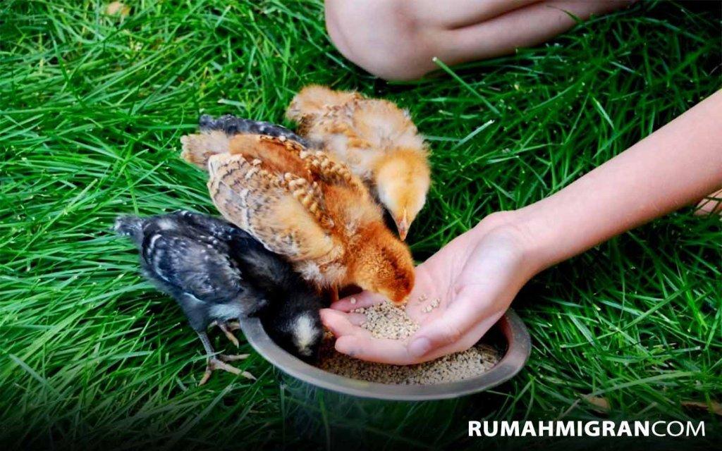 Usaha Ternak Ayam Petelur
