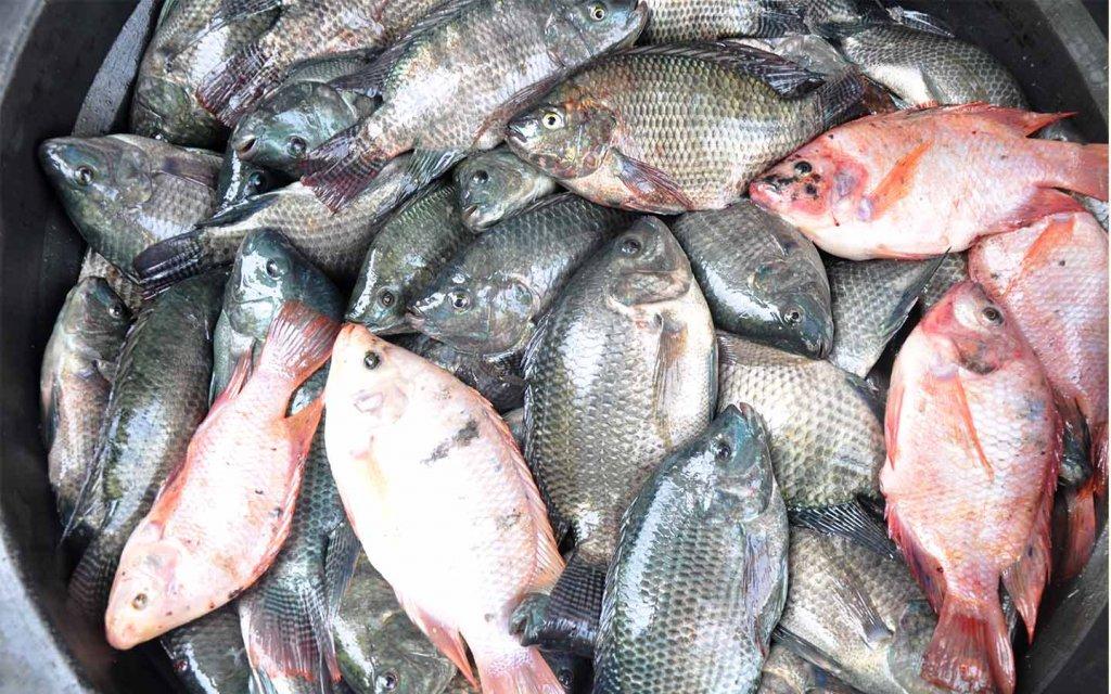 PMI Sukses Budidaya Ikan